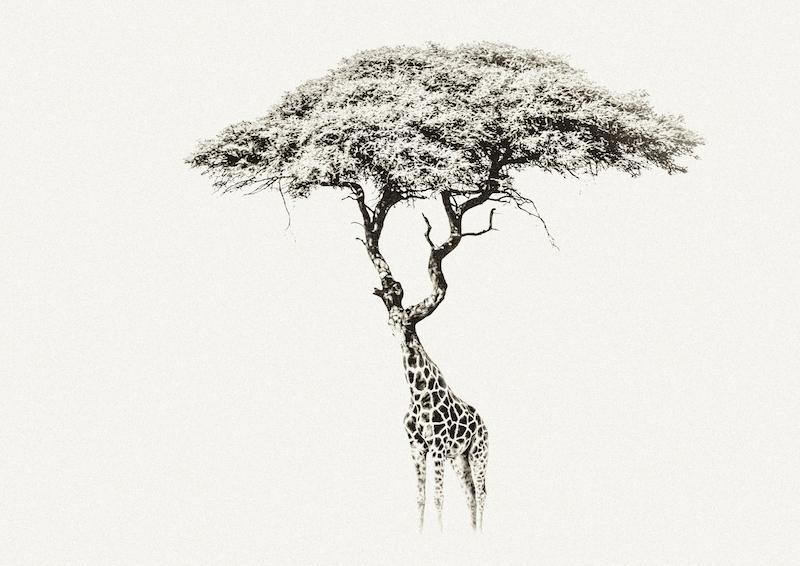 Improbabilitree-Giraffe copy